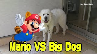 【Great Pyrenees】mario vs big dog 【Big Funny Dog】