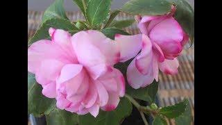 видео Выращивание бальзамина (65 фото): из семян, в открытом грунте, на даче, сорта, описание, посадка, подкормка, уход