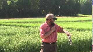 comparing broadcast and drill planting methods in wheat