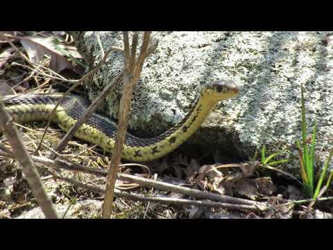 Common Garter Snake, Perth Wildlife Refuge, Canada1