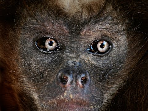 Documentary: Spider monkey in Caparo´s forest fragment, Venezuela