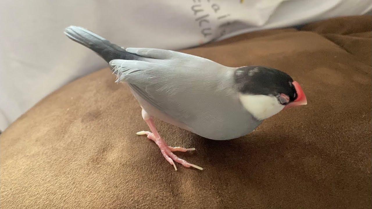 遊んでる途中で寝てしまう文鳥  あずき Java sparrow