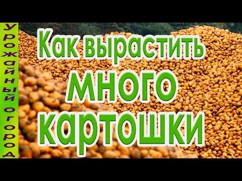 Вопрос: Как получить богатый урожай картофеля без окучивания?