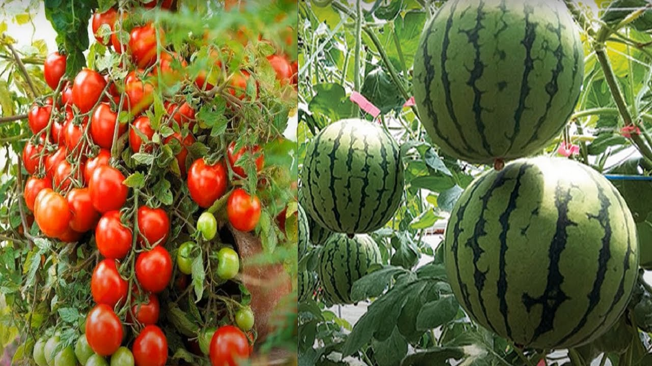 Grow Watermelon Tomatoes In Pot