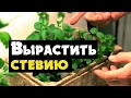 Tubidy Стевия - видео о выращивании медовой травы