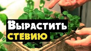 Стевия - видео о выращивании медовой травы