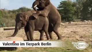 Max bei Elefantenbulle Valentino im Berliner Tierpark