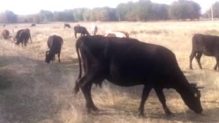 Коровки пасутся! Cows graze!