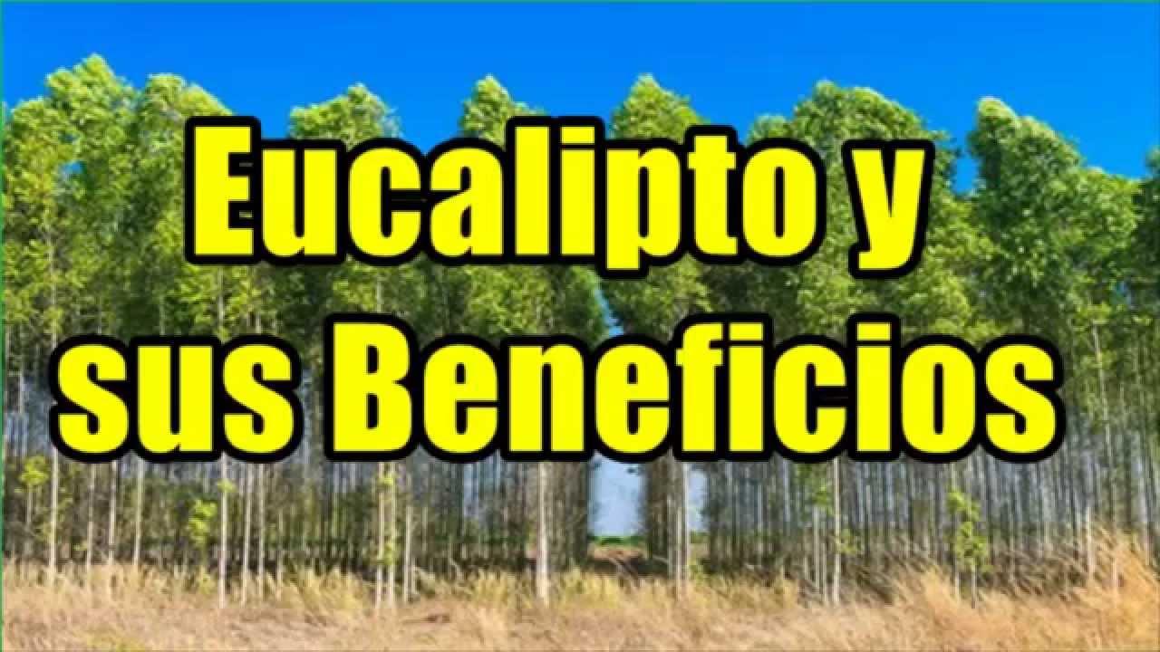 Eucalipto para que sirve usos del eucalipto youtube - Informacion sobre el eucalipto ...