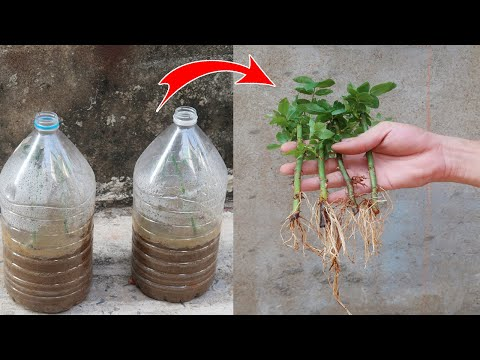 How to Grow Roses from Cuttings in plastic bottles for beginners - DIY Garden Ideas
