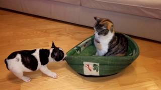 Puppy Tries To Reclaim Bed From Unimpressed Cat (part 1)