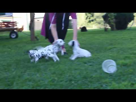 Dalmatian Puppies For Sale Mike Fisher