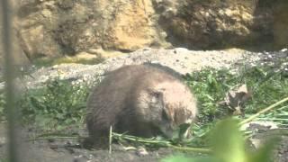 Zoo Opole - piesek preriowy