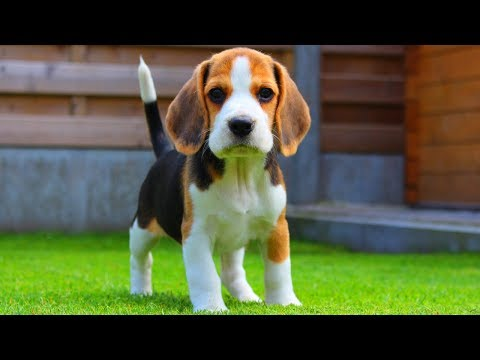 Beagle Puppy From 8 Weeks to 8 Months : Cute Dog Marie