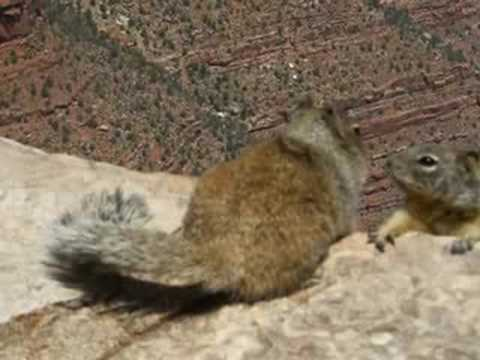 Grand Canyon Squirrel hanging out