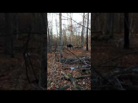 Видео: Охота на лося / Лайки / Нападение лося