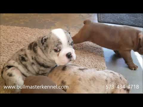 Exotic Blue Merle And Chocolate Olde English Bulldogge Pups Playing