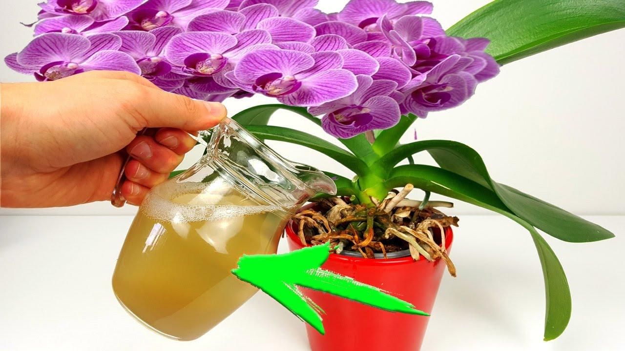 Logra una Floracion Impresionante con este abono Gratis y Facil de hacer