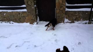 подготовка собак- охрана двора (злоба) - немецкая овчарка в паре с дворнягой...