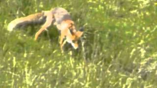 A fox hunting a lizard in Carpathian mountains