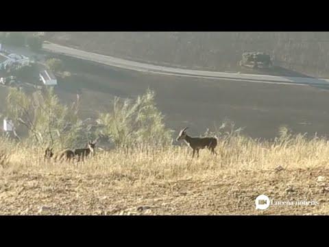 VÍDEO: Un grupo de cabras montesas se dejan ver por la Sierra de Aras de Lucena