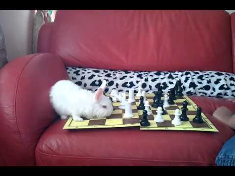 Smart rabbit playing chess