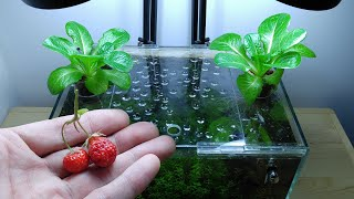 Ep.13 Lettuce Betta Tank (The Last of Strawberries) No filter, No CO2, NO ferts Nano Tank
