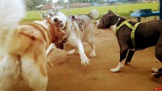 Pitbull Doesn't Like Huskies Attack At Dog Park (Victim Update)