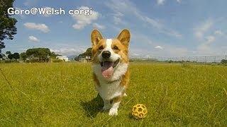 Ball, Super Slow Motion / ボール スローモーション 20130702 Goro@welsh Corgi コーギー キャッチ