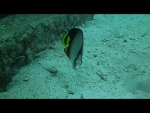 Aggressive Butterfly Fish - Andaman Sea
