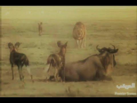Erkek Aslan Afrika Vahşi Köpeklerinin Avına Çöküyor! - Male Lion Vs Wild Dogs!