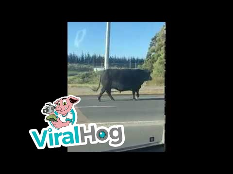 Bull Casually Roams Busy Streets Of Auckland || ViralHog