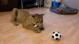 Пума Месси играет в футбол