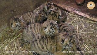 Тигриный рекорд! 6 тигрят у одной тигрицы! Тайган | Tiger record! 6 cubs of one tigress! Taigan
