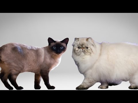 Siamese Cat vs Persian Cat -  Understanding The Differences