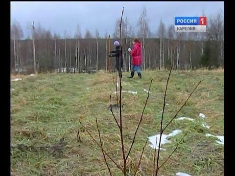 Какое дерево украсит «Аллею России» в Петрозаводске?
