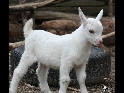 Вопрос: Что делать если коза не кормит козлят?