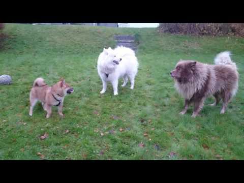 Emil, Hedda & Raja - Shiba puppy, Samoyed and Finnish Lapphund.