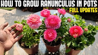 How To Grow Ranunculus (FULL INFORMATION)