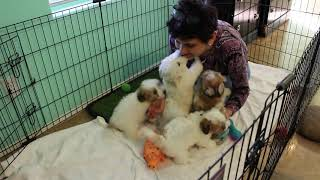 Coton Puppies For Sale 2/25/20