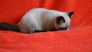 Купить шотландского котенка? Котята для Вас! Шотландские страйт котята сил-поинт окраса.