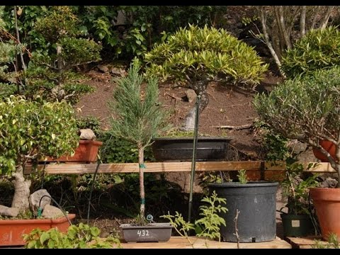 Giant Sequoia Bonsai Youtube