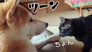 猫のけなげなアピールを知らんぷりするツンデレ犬 Shibainu is very hot and cold
