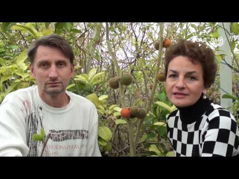 Вопрос: Какие экзотические фрукты можно вырастить в России?