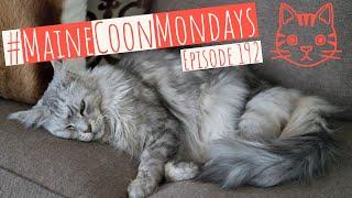 #MaineCoonMondays – Episode 192