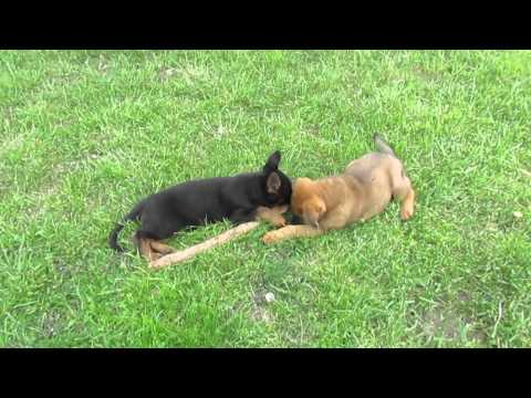 two german shepherd puppies and one stick youtube. Black Bedroom Furniture Sets. Home Design Ideas