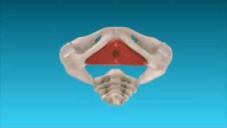 3D Animation: So funktioniert der Beckenboden