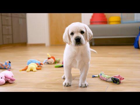 Sponsor a Puppy - Dodger