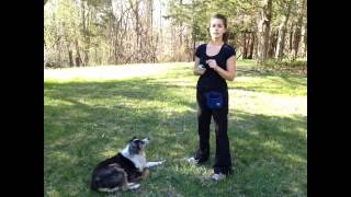 Clicker Train Your Australian Shepherd:  A Quick Intro & The Name Game