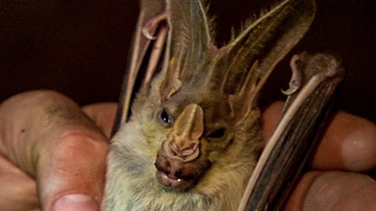 Face to Face with a Ghost Bat | Deadly 60 | Earth Unplugged